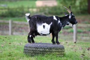Silly billy! See what the goats are up to today