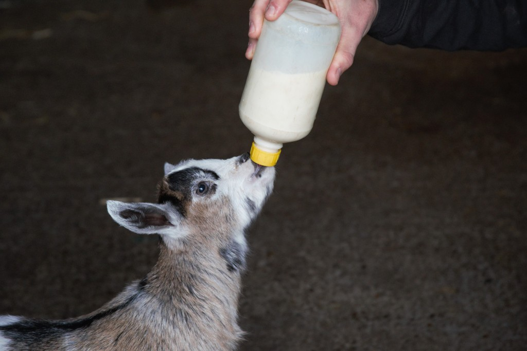 Easton Farm Park, Young goat getting milk