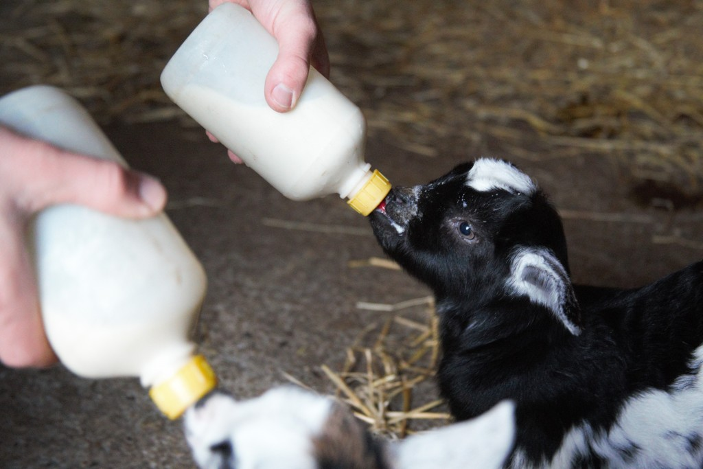 Baby goats being fed at Easton Farm Park