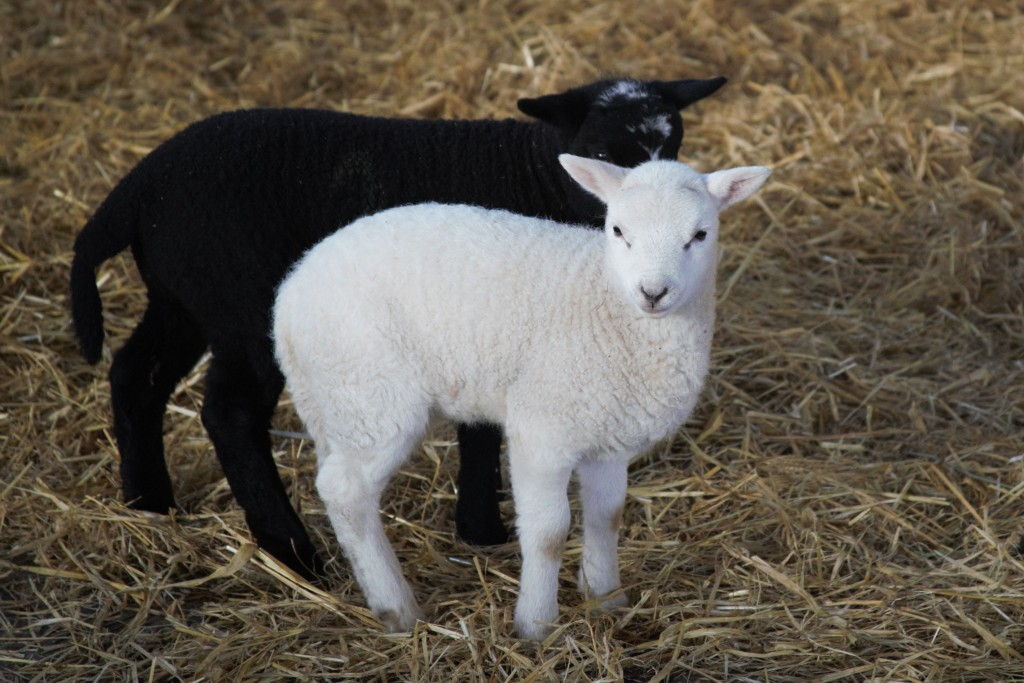 A black lamb and a white lamb
