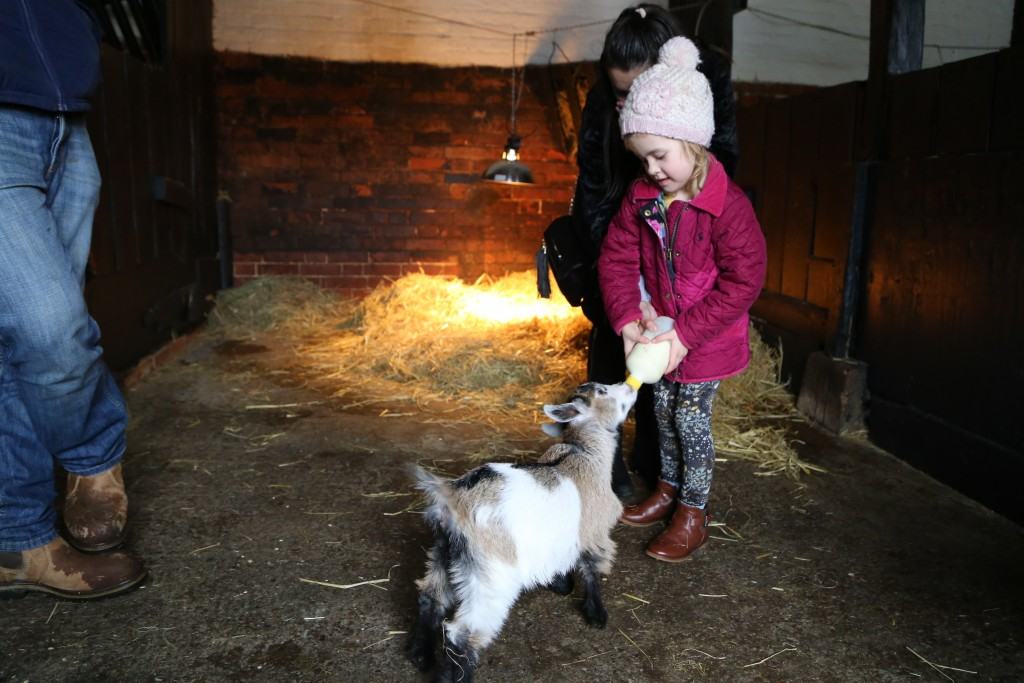 Feeding time at Easton Farm Park, family Attraction