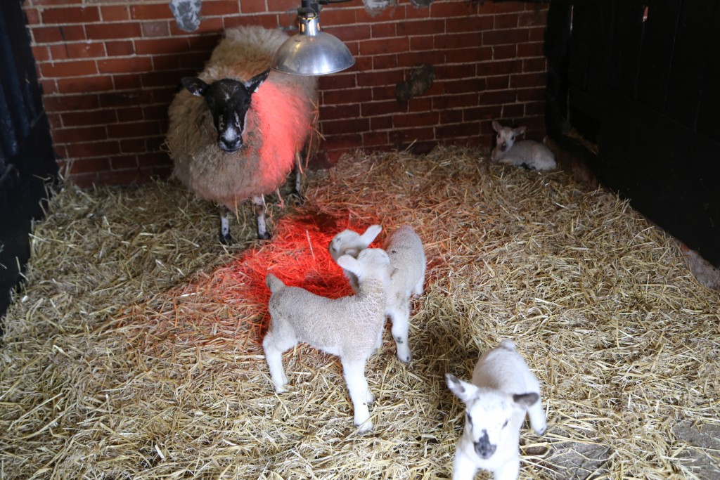 Lots of lambs to see at Easton Farm Park