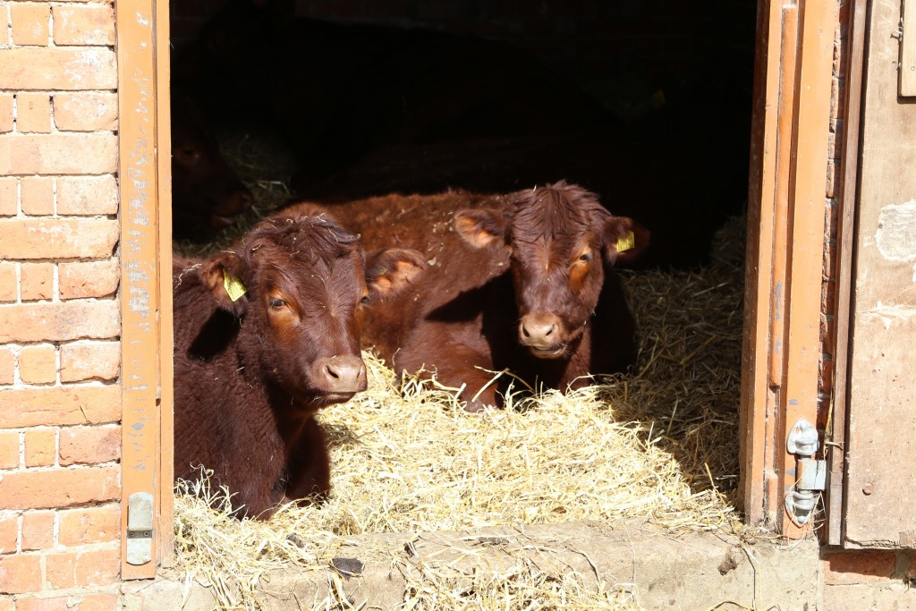 Calves at Easton Farm Park