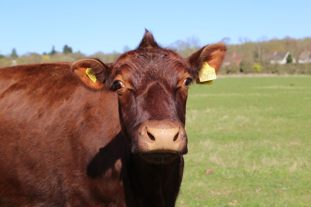 A cow at Easton Farm Park