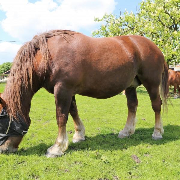 Suffolk Punch at Easton Farm Park