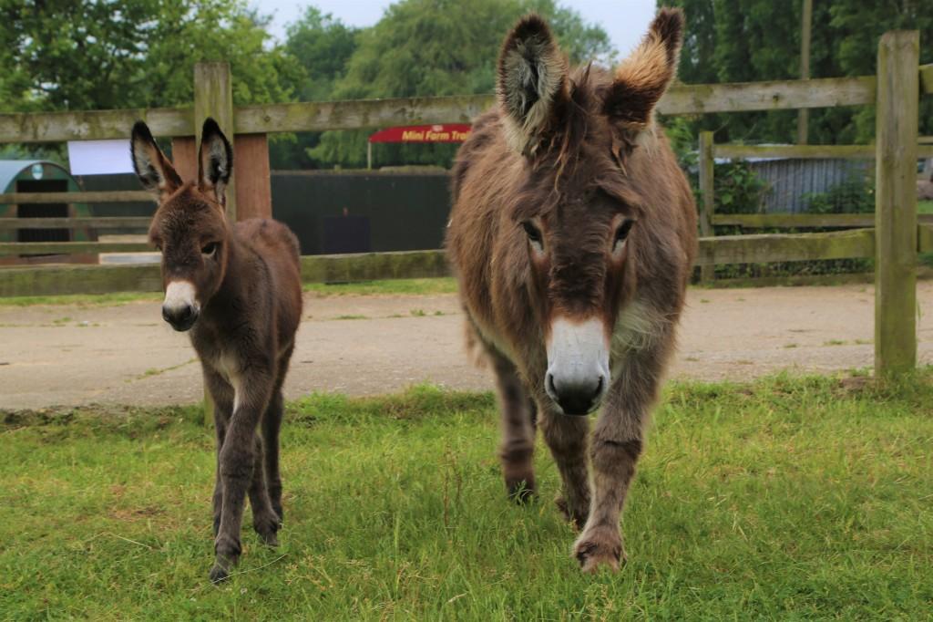 New Donkey at Easton Farm Park
