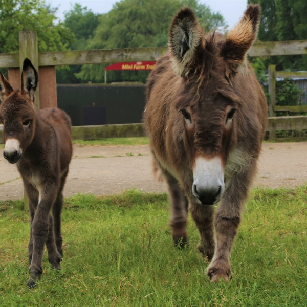 New Donkey at Easton Farm Park