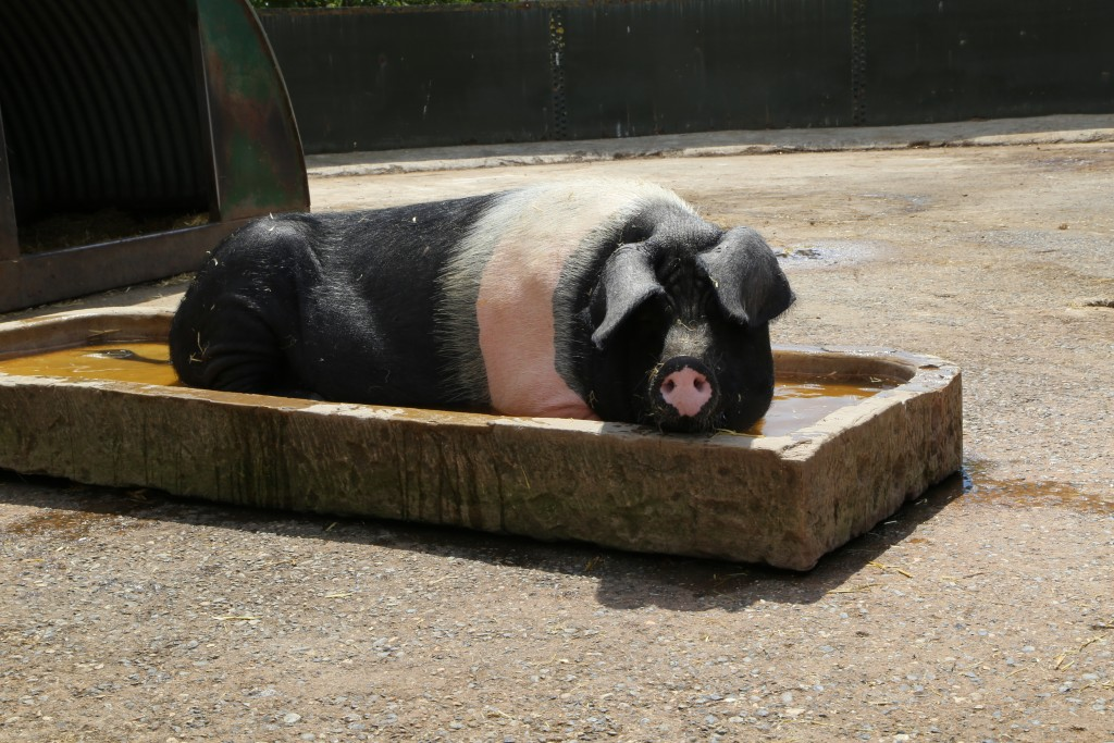 A pig keeping cool at Easton Farm Park
