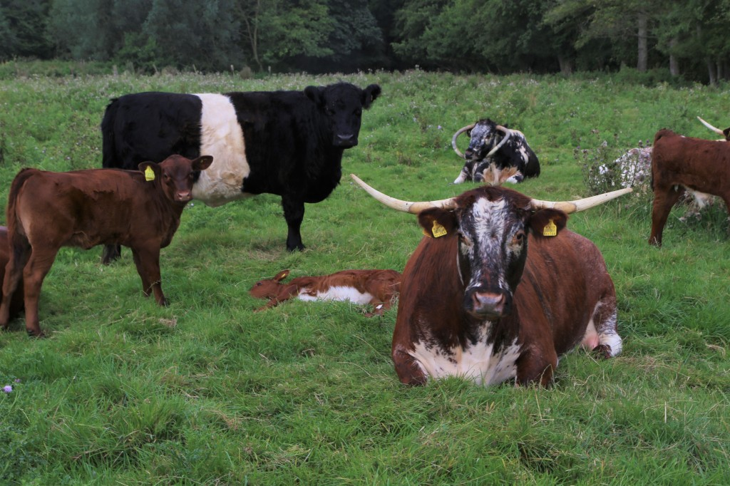 Longhorn Cattle at Easton Farm Park