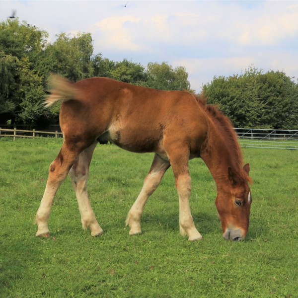 Easton Farm Suffolk Punch Foal